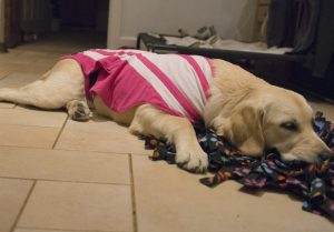 Nellie relaxing after foraging for treats, wearing a Thundershirt sprayed with Pet Remedy